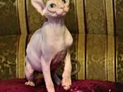 Кошки, котята Канадский сфинкс, цена 10 000 рублей, Фото