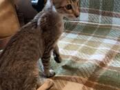 Кошки, котята Ориентальная, цена 18 000 рублей, Фото