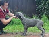 Собаки, щенки Немецкий дог, цена 60 000 рублей, Фото