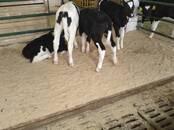 Животноводство,  Сельхоз животные Крупно-рогатый скот, цена 11 000 рублей, Фото