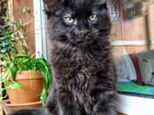 Кошки, котята Мэйн-кун, цена 70 000 рублей, Фото