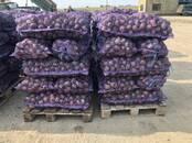 Продовольствие,  Овощи Картофель, цена 15 рублей/кг., Фото