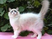 Кошки, котята Рэгдолл, цена 70 000 рублей, Фото