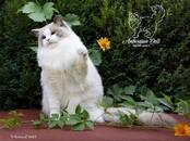 Кошки, котята Рэгдолл, цена 50 000 рублей, Фото