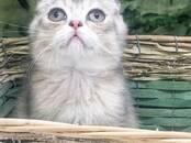 Кошки, котята Шотландская вислоухая, цена 7 000 рублей, Фото