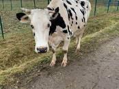 Животноводство,  Сельхоз животные Крупно-рогатый скот, цена 110 000 рублей, Фото