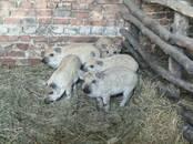Животноводство,  Сельхоз животные Свиньи, цена 4 000 рублей, Фото
