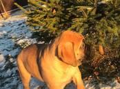 Собаки, щенки Бульмастиф, цена 40 000 рублей, Фото
