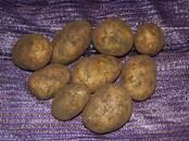Продовольствие,  Овощи Картофель, цена 18 рублей/кг., Фото