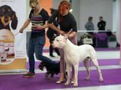 Собаки, щенки Аргентинский дог, цена 65 000 рублей, Фото