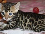 Кошки, котята Бенгальская, цена 12 000 рублей, Фото