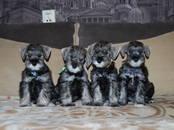 Собаки, щенки Цвергшнауцер, цена 25 000 рублей, Фото