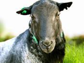 Животноводство,  Сельхоз животные Бараны, овцы, цена 350 рублей, Фото