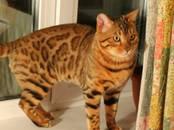 Кошки, котята Бенгальская, цена 4 000 рублей, Фото