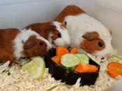 Грызуны Морские свинки, цена 890 рублей, Фото