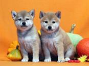 Собаки, щенки Акита-ину, цена 60 000 рублей, Фото