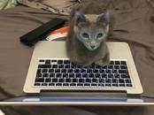 Кошки, котята Русская голубая, цена 18 000 рублей, Фото