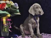 Собаки, щенки Веймарская легавая, цена 55 000 рублей, Фото