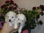 Собаки, щенки Той-пудель, цена 18 000 рублей, Фото