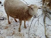 Животноводство,  Сельхоз животные Бараны, овцы, цена 10 000 рублей, Фото