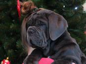 Собаки, щенки Мастино наполетано, цена 50 000 рублей, Фото