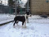 Собаки, щенки Американский стаффордширский терьер, цена 15 000 рублей, Фото