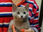 Кошки, котята Русская голубая, цена 12 000 рублей, Фото
