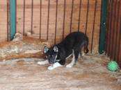 Собаки, щенки Восточно-Сибирская лайка, цена 25 000 рублей, Фото