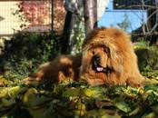Собаки, щенки Тибетский мастиф, цена 80 000 рублей, Фото