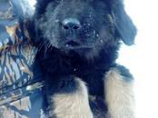 Собаки, щенки Тибетский мастиф, цена 12 000 рублей, Фото