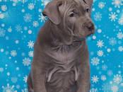 Собаки, щенки Тайский риджбек, цена 40 000 рублей, Фото