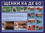Собаки, щенки Мальоркский бульдог (Ка Де Бо), цена 30 000 рублей, Фото