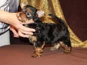 Собаки, щенки Йоркширский терьер, цена 55 000 рублей, Фото
