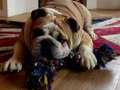 Собаки, щенки Английский бульдог, цена 80 000 рублей, Фото