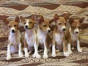 Собаки, щенки Басенджи, цена 35 000 рублей, Фото