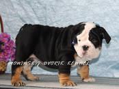Собаки, щенки Английский бульдог, цена 100 000 рублей, Фото