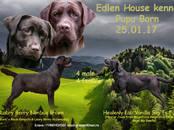 Собаки, щенки Лабрадор ретривер, цена 25 000 рублей, Фото