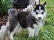 Собаки, щенки Сибирский хаски, цена 7 000 рублей, Фото