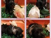 Собаки, щенки Цвергшнауцер, цена 30 000 рублей, Фото