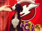 Собаки, щенки Уиппет, цена 25 000 рублей, Фото
