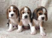 Собаки, щенки Бигль, цена 25 000 рублей, Фото
