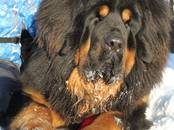 Собаки, щенки Тибетский мастиф, цена 60 000 рублей, Фото