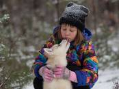 Собаки, щенки Сибирский хаски, цена 15 000 рублей, Фото