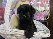 Собаки, щенки Цвергшнауцер, цена 40 000 рублей, Фото