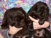 Собаки, щенки Ньюфаундленд, цена 40 000 рублей, Фото