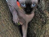 Кошки, котята Канадский сфинкс, цена 5 000 рублей, Фото