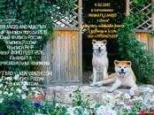 Собаки, щенки Акита-ину, цена 50 000 рублей, Фото