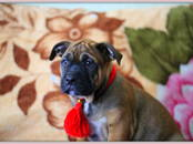 Собаки, щенки Мальоркский бульдог (Ка Де Бо), цена 65 000 рублей, Фото