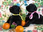Собаки, щенки Черный терьер, цена 40 000 рублей, Фото