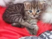 Кошки, котята Британская длинношёрстная, Фото